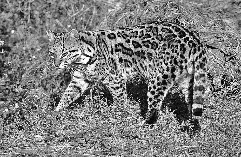 豹猫。资料图