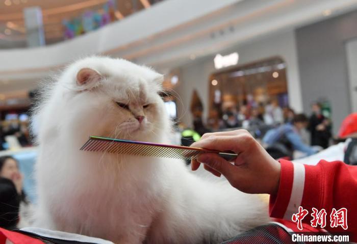 猫咪主人在为猫咪梳毛 张瑶 摄