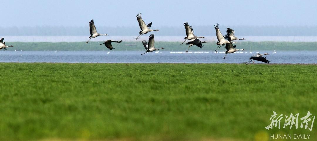 (一群灰鹤在岳阳东洞庭湖自然保护区翱翔。 湖南日报·新湖南客户端记者 张京明 摄)