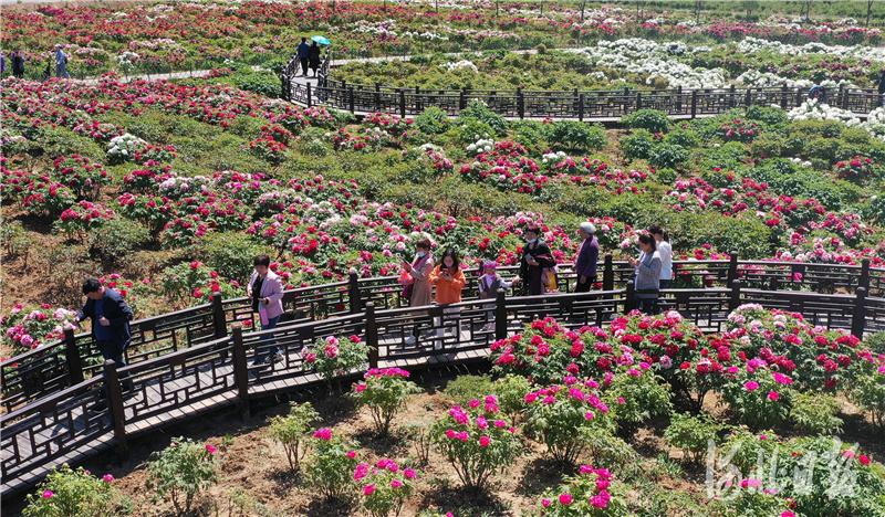 2021年4月17日,游客在河北省邯郸市峰峰矿区西固义乡牡丹种植基地赏花游玩(无人机照片)。