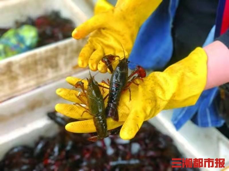 (4月23日,马王堆海鲜市场某经营户在售的小龙虾。记者 黄亚苹 摄)