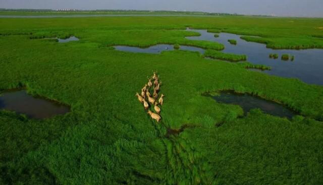 (麋鹿群奔跑在东洞庭湖国家级自然保护区内。湖南日报·新湖南客户端记者 郭立亮摄)