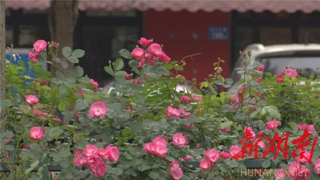 (星沙大道中央绿化带上的安吉拉月季进入盛花期。罗展 摄)