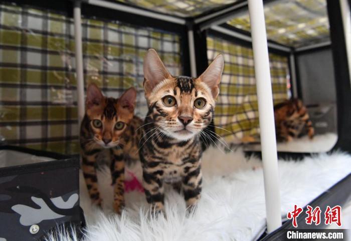 一场名猫大赛在长春市举行,吸引来自中国多地的猫咪主人携宠物参赛。 张瑶 摄
