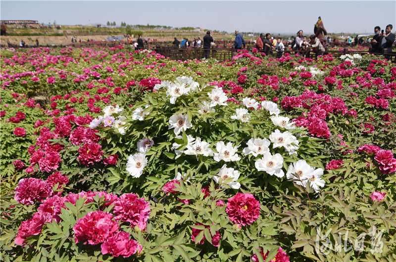 2021年4月17日,游客在河北省邯郸市峰峰矿区西固义乡牡丹种植基地赏花游玩。