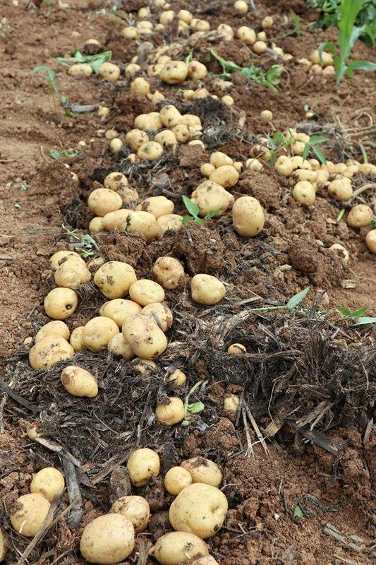 △恩施小土豆。图by 网络
