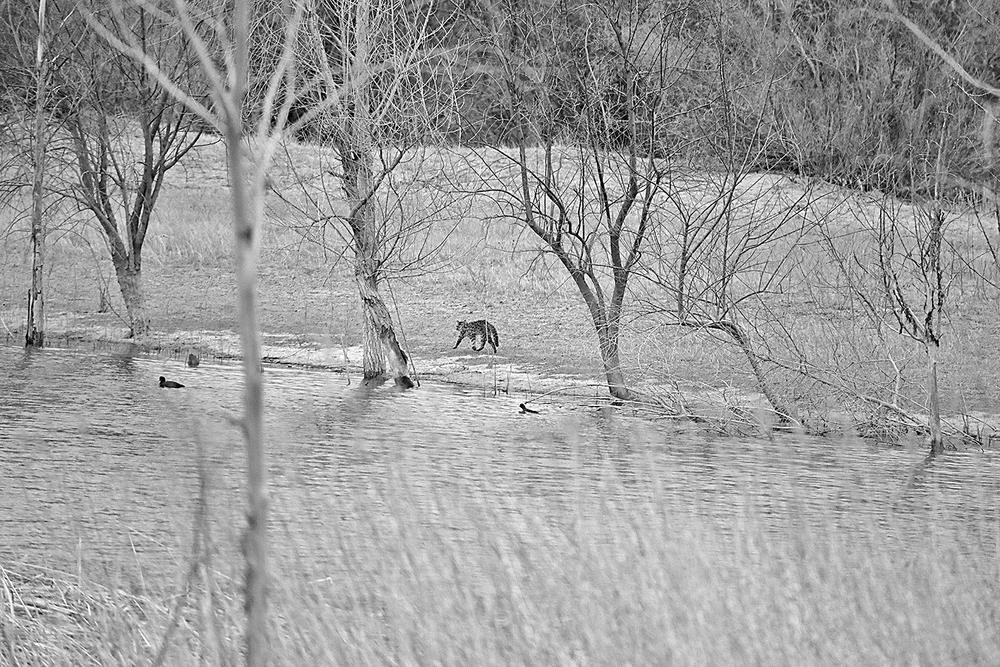 摄影爱好者拍摄到的豹猫。图片由张加庆提供