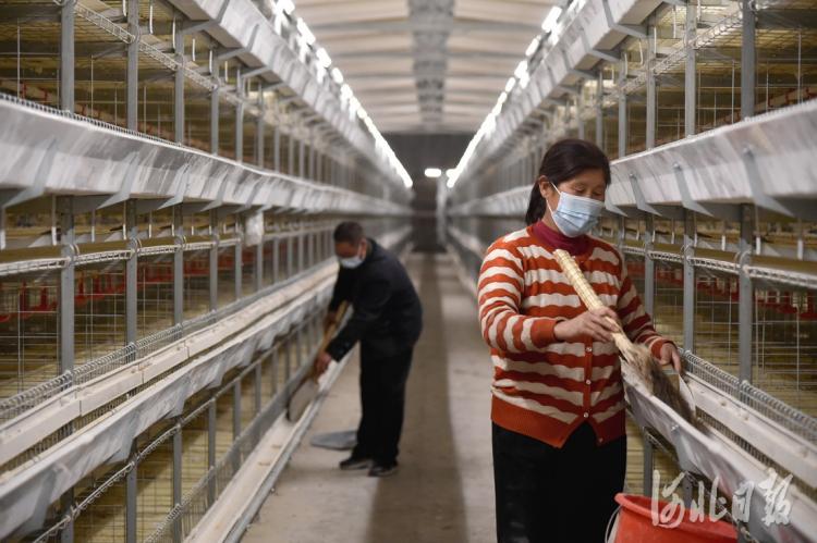 2021年4月15日,涞源县宋家庄村,59岁的孙庆彬正在打扫鸡舍。河北日报记者赵海江摄