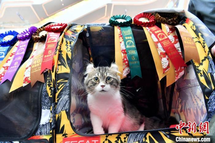 比赛从猫咪的身材、骨量、甜美度、花色等方面,考量猫咪品质,共有十余个品种的数百只猫参赛。 张瑶 摄