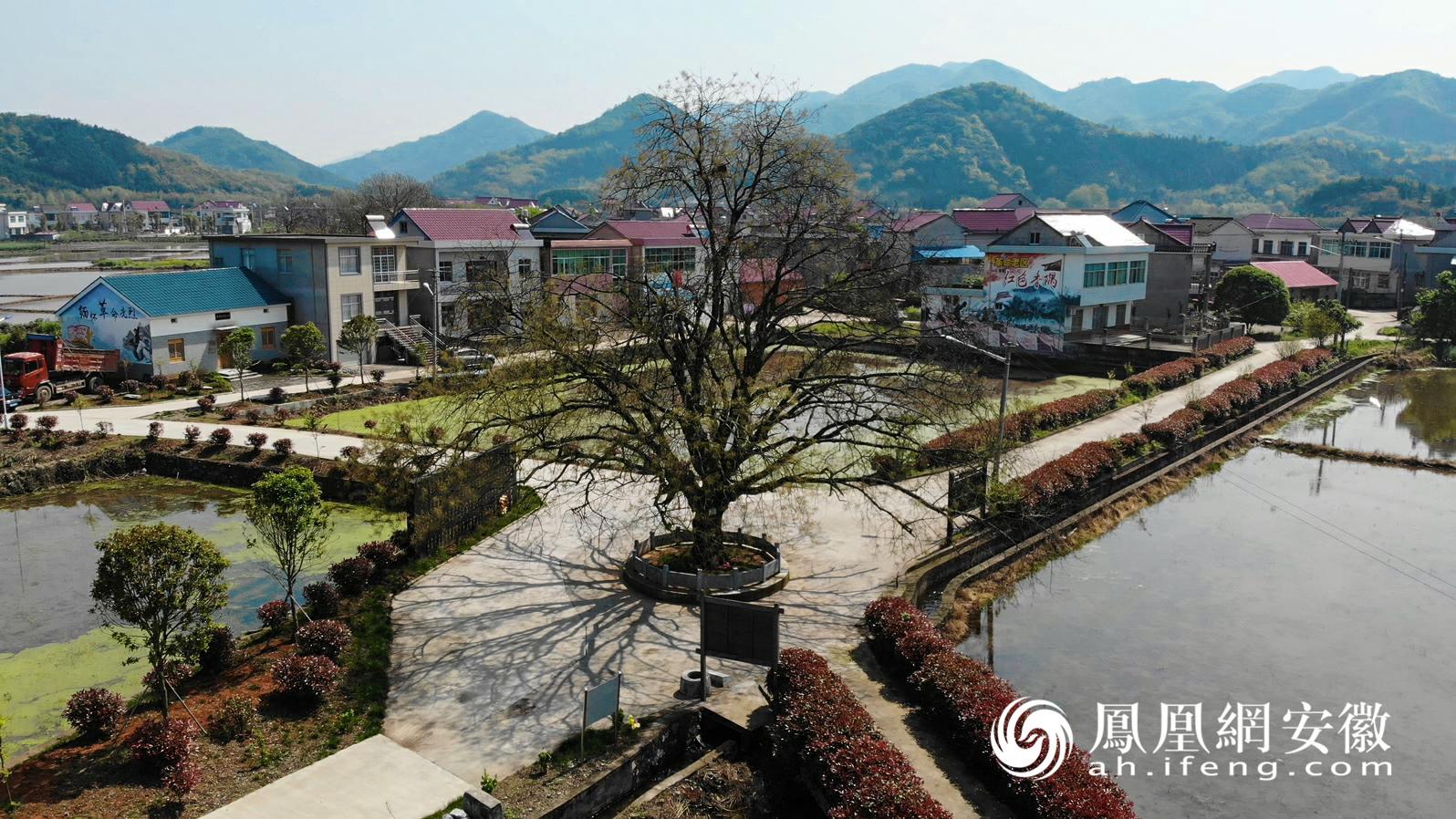合延村烈士树