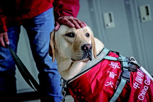 """4月22日,中国导盲犬大连培训基地的训导员付明岩与在训犬""""沐沐""""在训练中。"""
