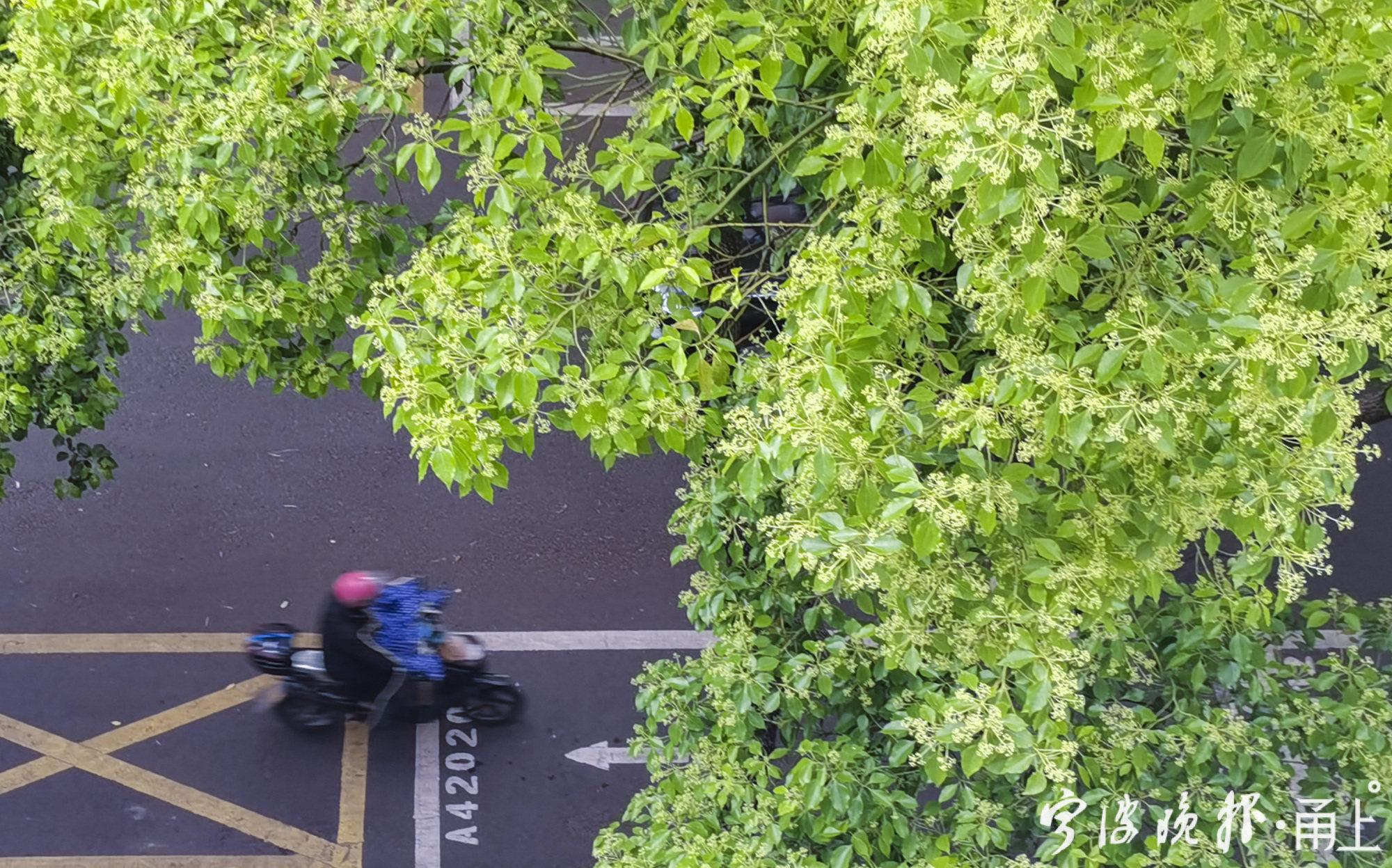 樟树开花21.jpg