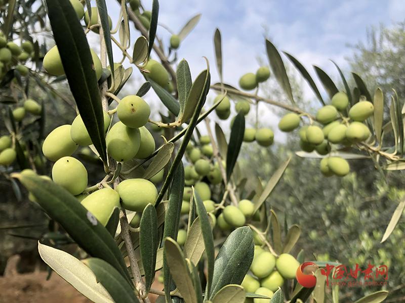 陇南油橄榄
