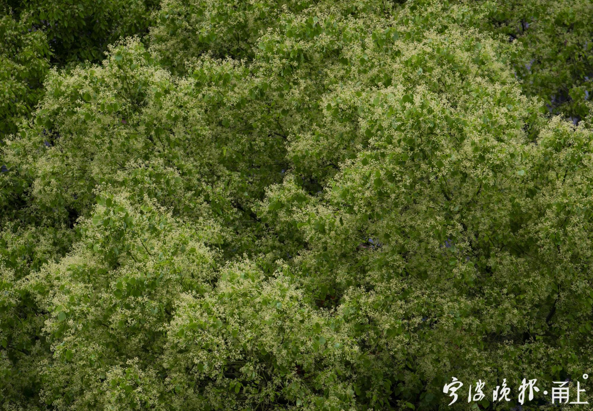 樟树开花10.jpg