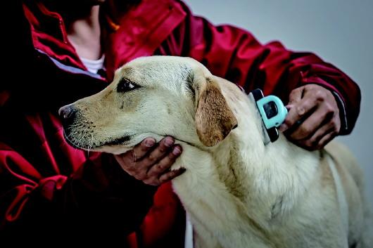 """4月22日,中国导盲犬大连培训基地的训导员付明岩为在训犬""""沐沐""""清理毛发。"""