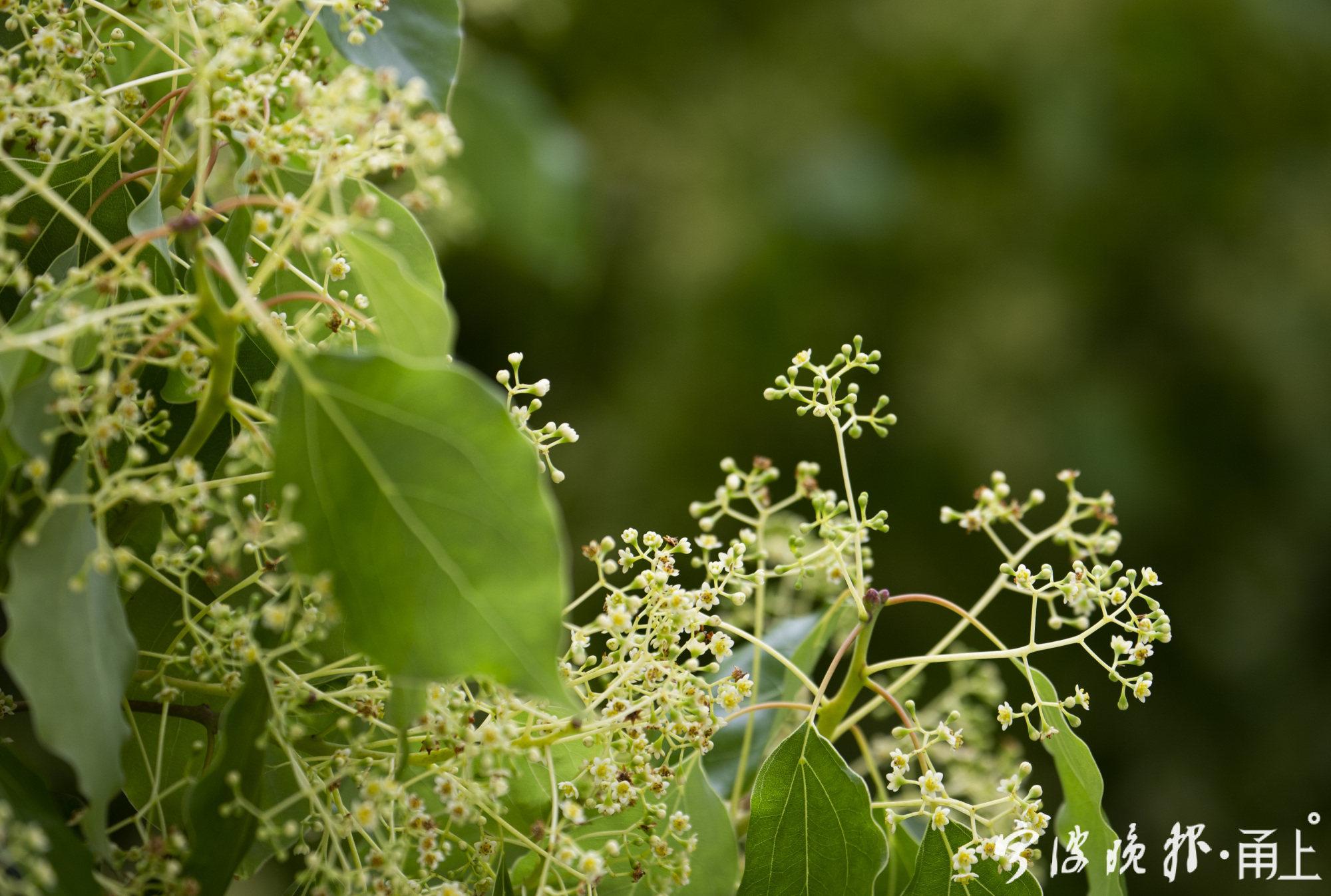 樟树开花2.jpg