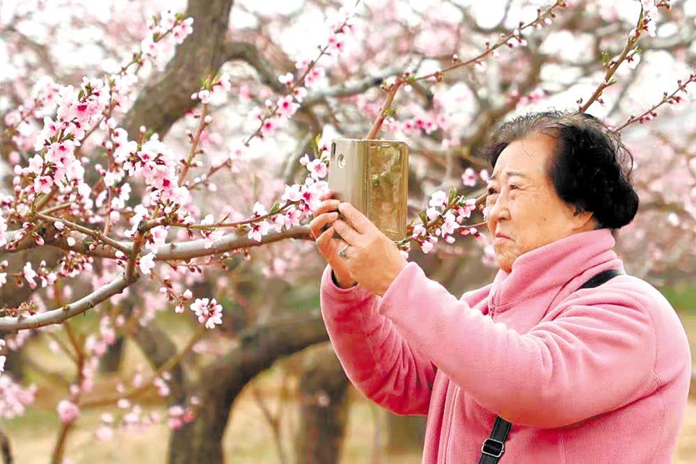 海东市民和回族土族自治县马场垣乡下川口上百公顷桃树灿烂绽放。 陈俊 石延寿