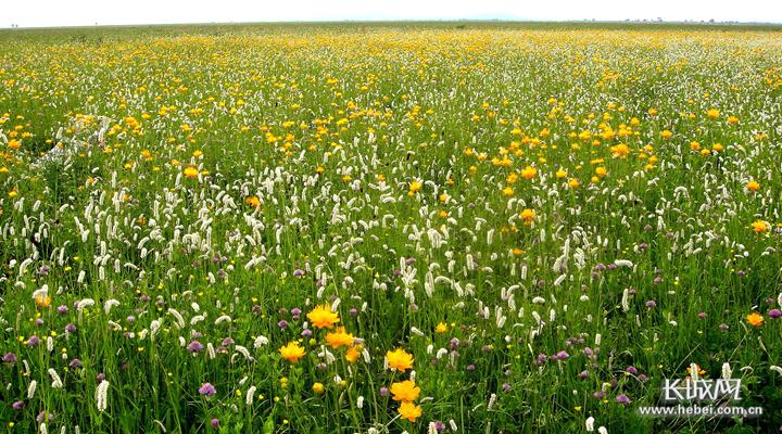 张北县实施生态修复草原人工种植的牧草。王铁军 摄
