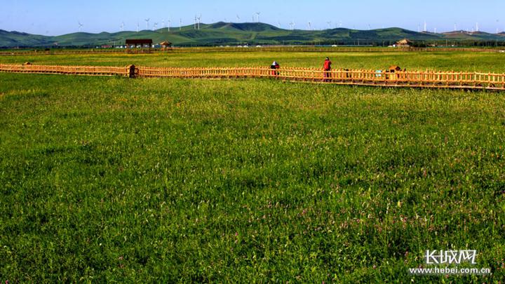 张家口察北管理区种植的优质牧草。资料图片