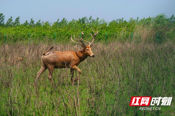 在洞庭湖漫步的国家一级重点保护动物,麋鹿。