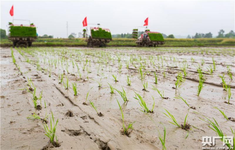 永新县象形乡石塘村,该村贝加尔河农业专业合作社的社员驾驶农机在稻田里插秧。(央广网发 通讯员摄)