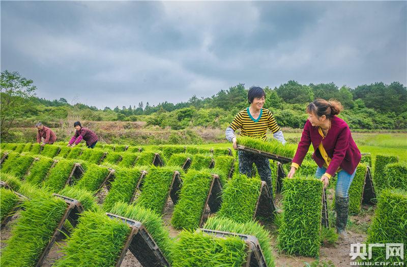 永新县象形乡石塘村,该村贝加尔河农业专业合作社的社员在搬运秧苗。(央广网发 通讯员摄)