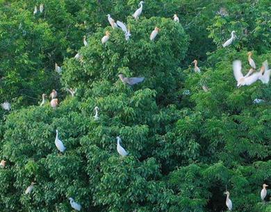 泰和:白鹭栖息生态好