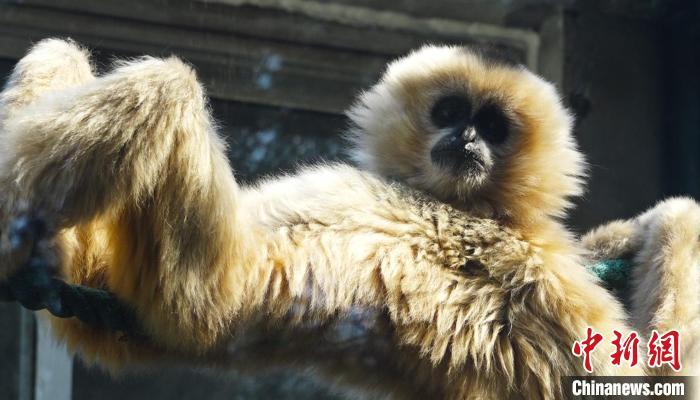 """济南动物园""""婚礼"""" 一对白颊长臂猿""""喜结连理"""""""