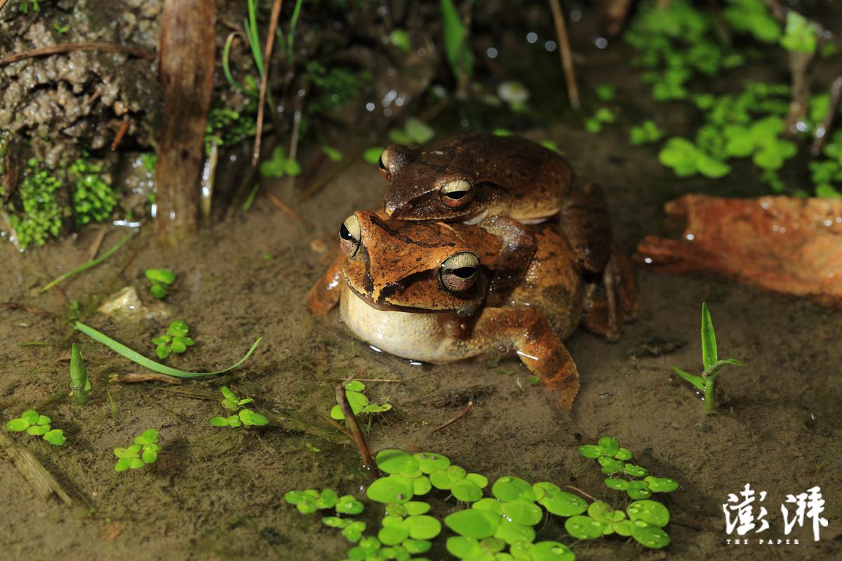 抱对的斑腿泛树蛙