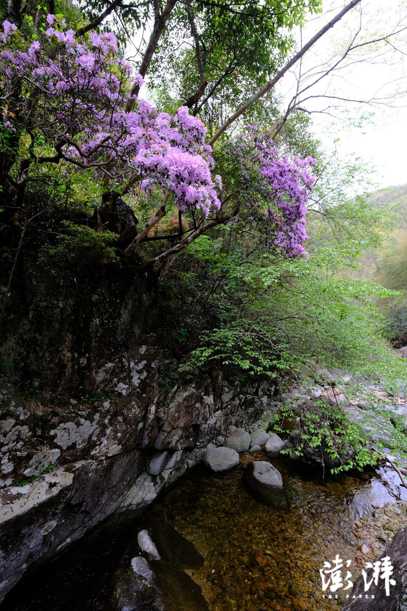 溪边的马银花