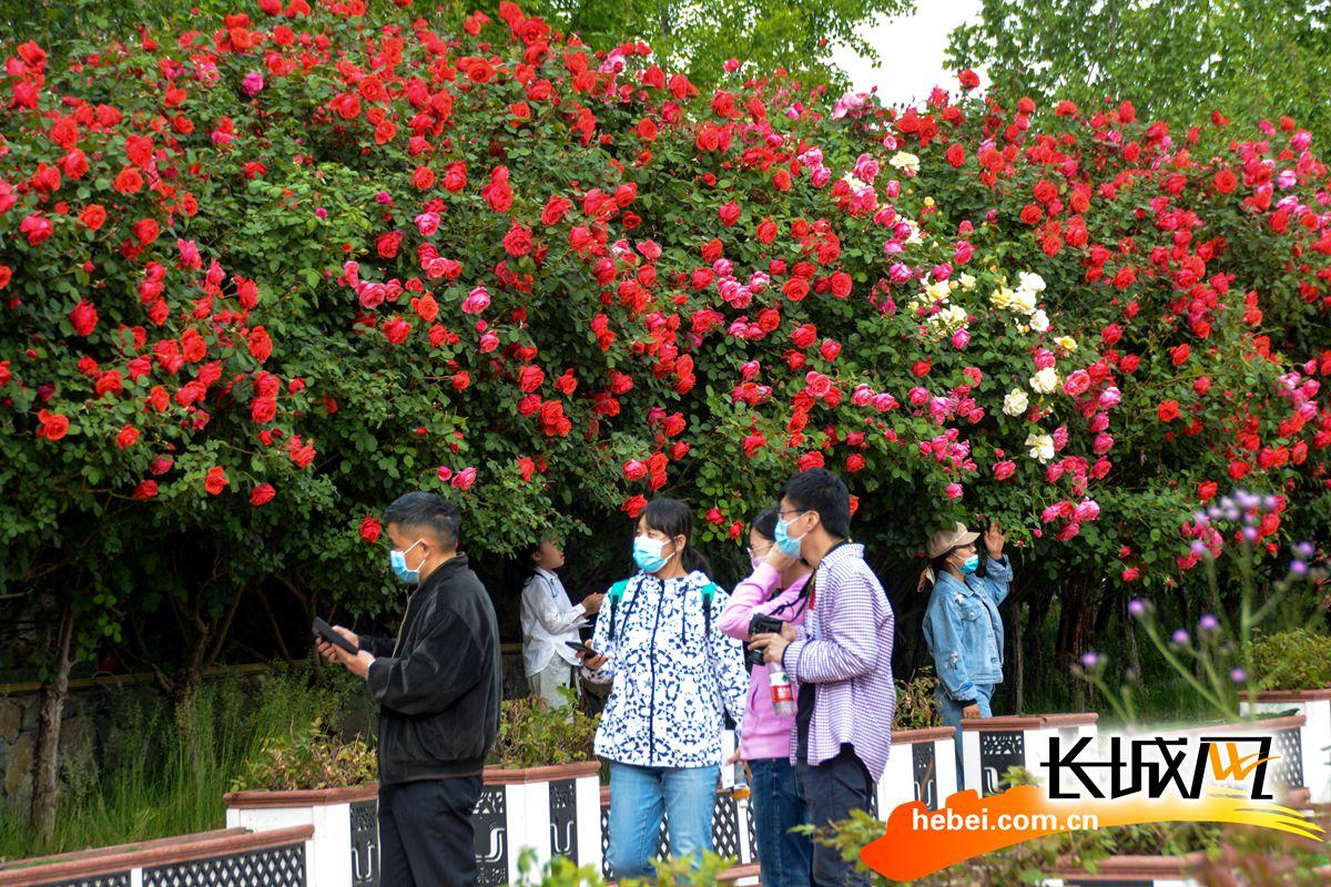 大红色的月季吸引不少游客拍照留念