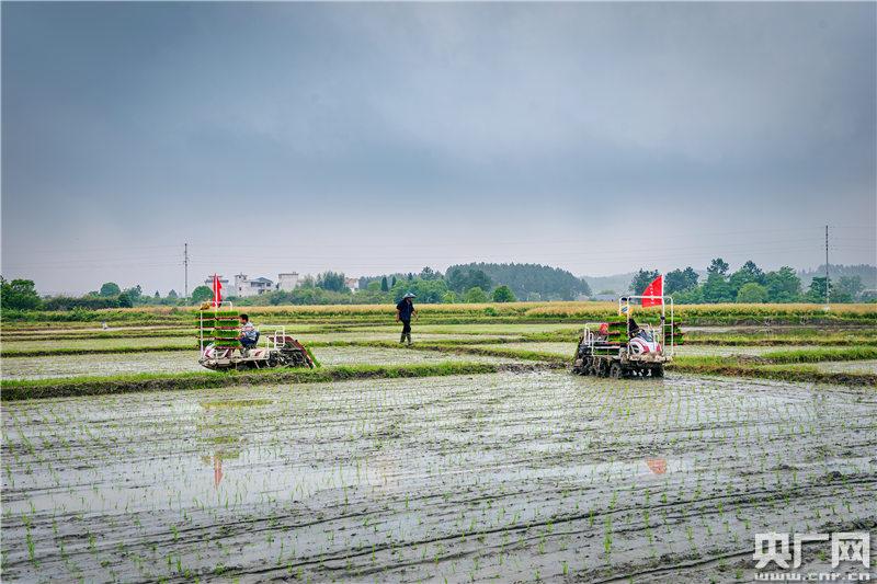 永新县象形乡石塘村,该村贝加尔河农业专业合作社的社员驾驶农机在稻田里插秧。 (央广网发 通讯员摄)