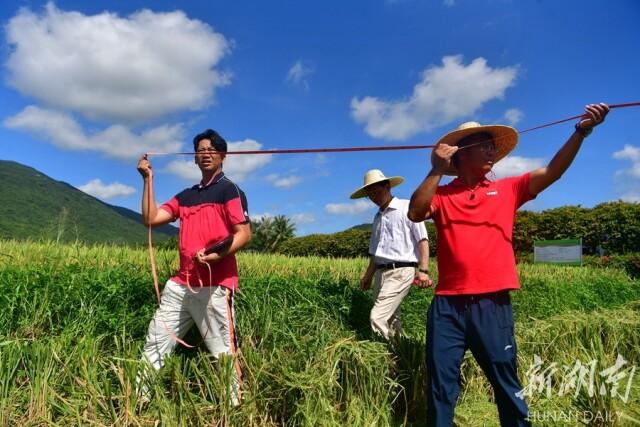 5月9日上午,湖南省杂交水稻研究中心海南省三亚市海棠湾基地,技术人员对3个地块的水稻面积进行测量。