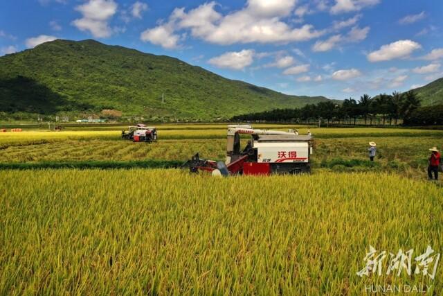 5月9日上午,湖南省杂交水稻研究中心海南省三亚市海棠湾基地,收割机对水稻试验示范田进行收割。