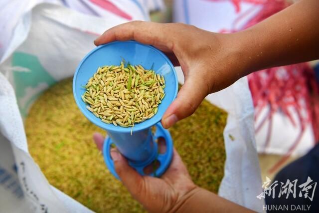 5月9日上午,湖南省杂交水稻研究中心海南省三亚市海棠湾基地,技术人员对收割的水稻抽样进行水分检测。