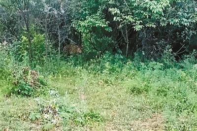 村民用手机拍摄的金钱豹 受访者供图