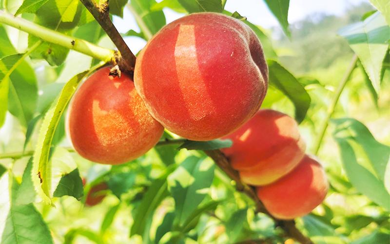 红玉脆桃已成熟,等待采摘。东温泉镇供图