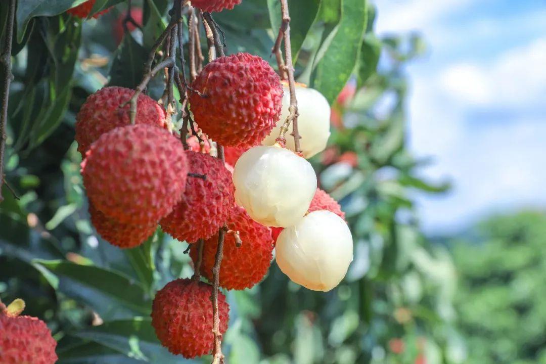 广东人眼中风味独特的荔枝竟是它,悠悠桂花香,赏味期不过十天