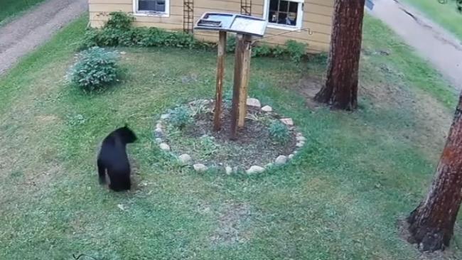 丢熊!美国野熊去居民家偷食 被小狗赶到树上