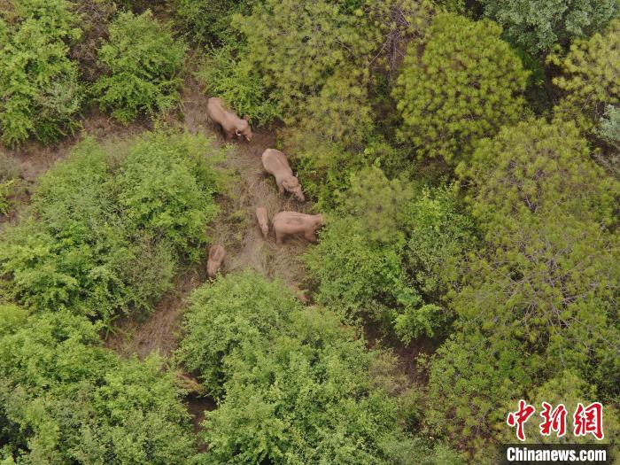 云南北迁象群持续在玉溪易门活动离群独象距离象群12公里