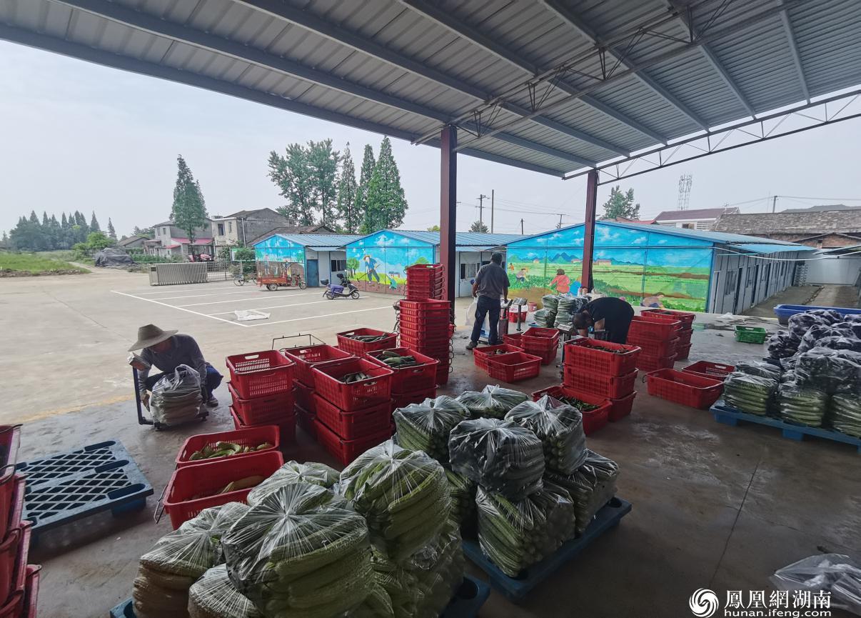 供港蔬菜合作社社员正在打包新鲜无公害蔬菜