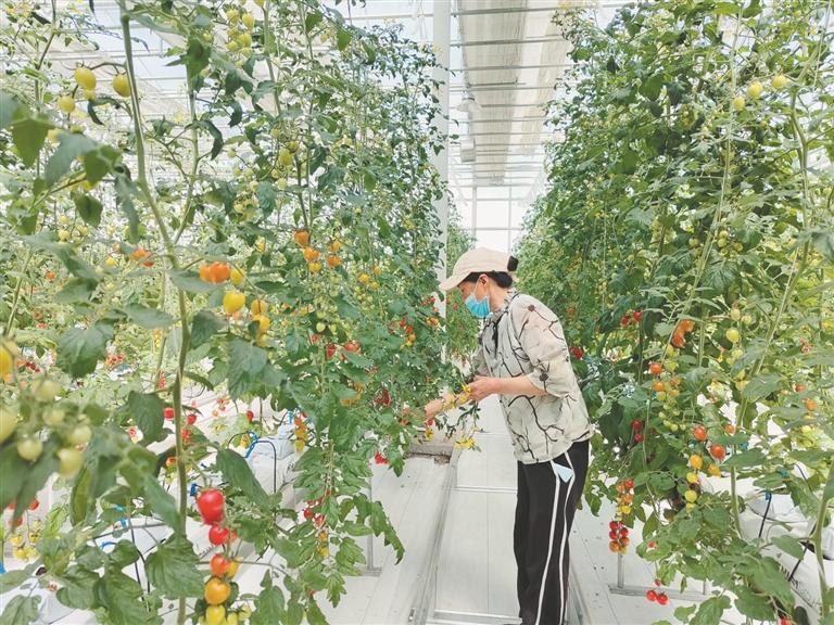 个头高产量高身价高 宝泉岭农场无土栽培番茄受欢迎