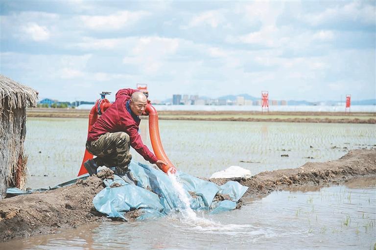打开提水泵给稻田补水,汩汩江水涌入稻田。