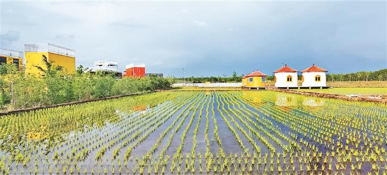 美丽稻田。