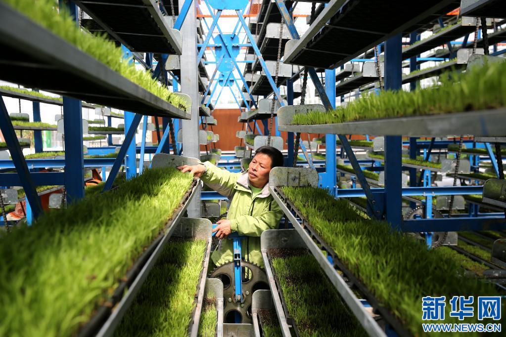 江西井冈山粮油集团有限公司的工厂化育秧中心。 廖敏 摄