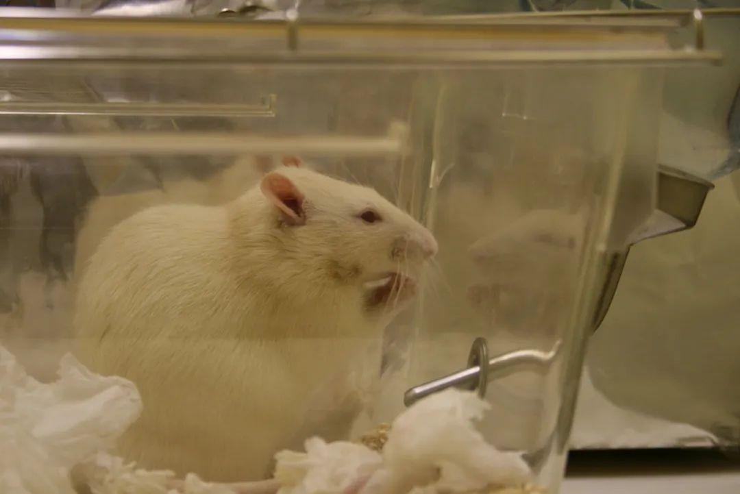 公鼠怀孕实验引发伦理争议 论文作者称已申请撤稿