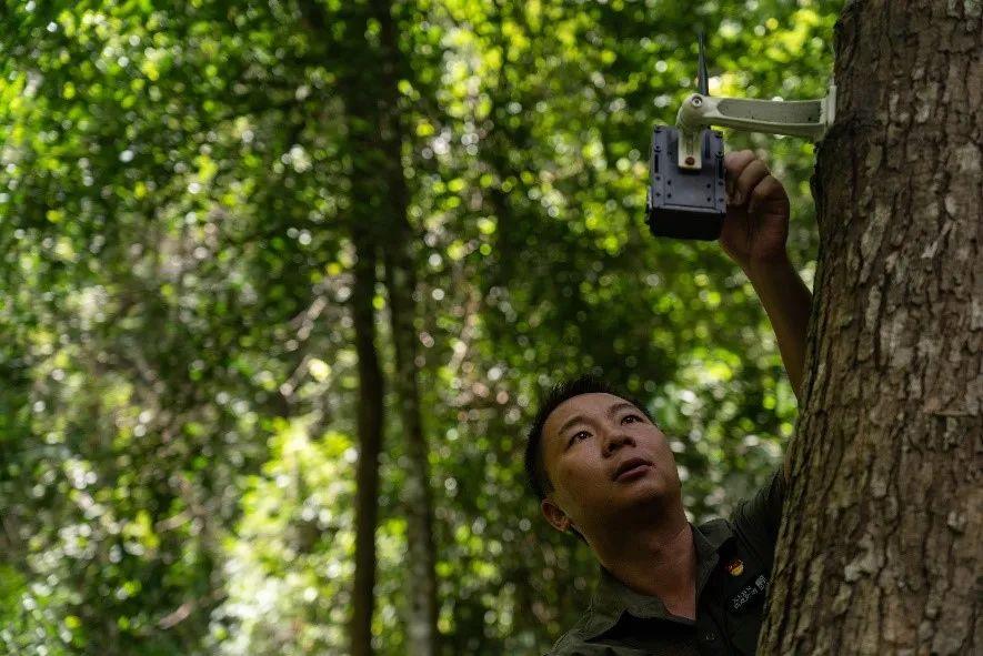 王斌和同事在森林里检修设置在树上的红外线照相机