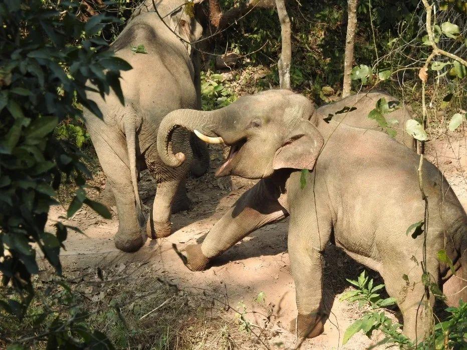 原始雨林中的野象