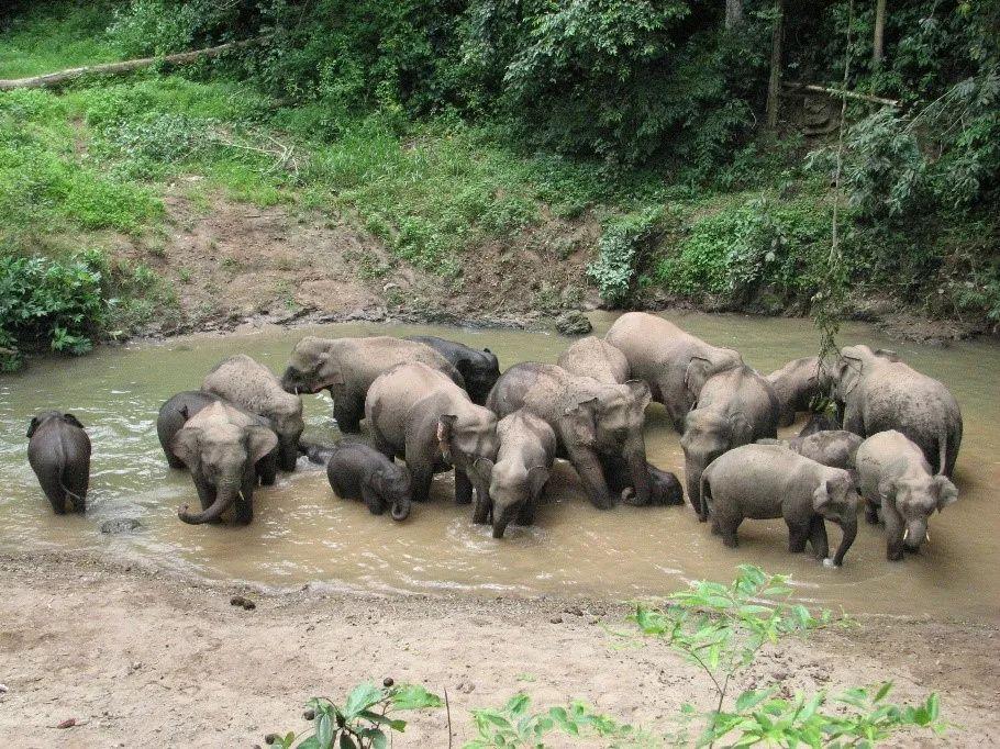 勐养子保护区里的野象群