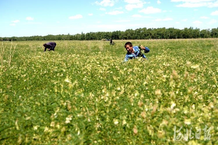 2021年6月30日拍摄的康保县哈咇嘎乡万亩连片黄芪种植区。河北省康保县全面推进农业结构调整,发展中草药种植特色产业。目前,全县中药材种植面积达30万亩,并引进中药材加工企业,不断延伸产业链。河北日报记者杜柏桦摄影报道